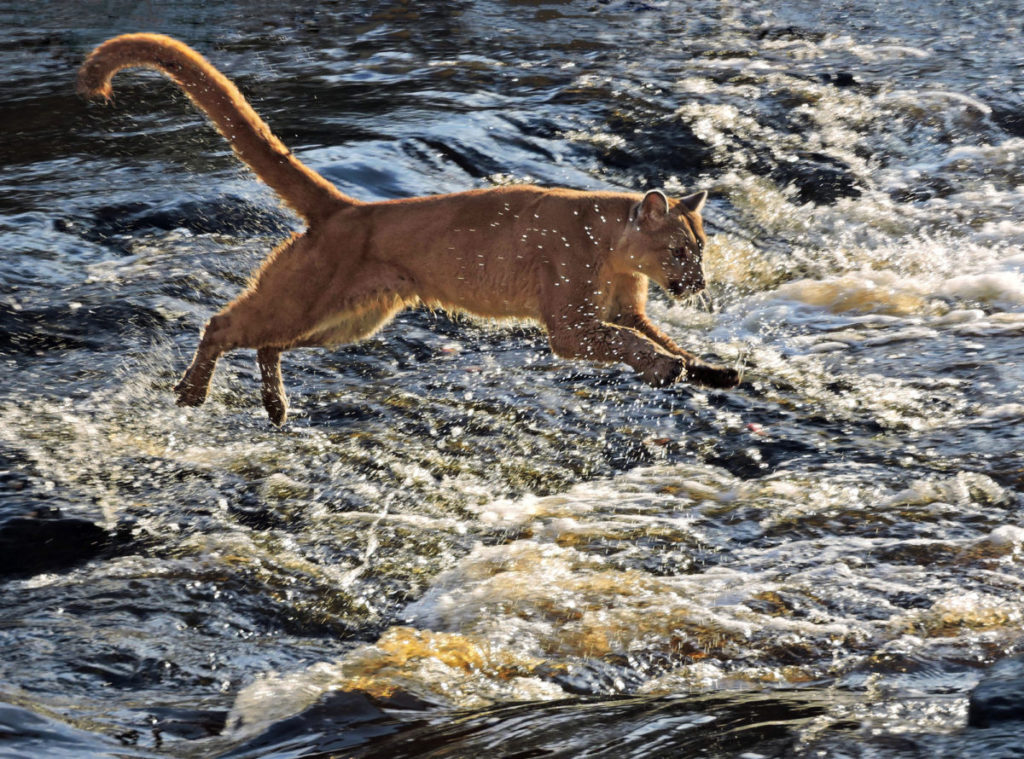 Photo by Sue of cougar leaping river